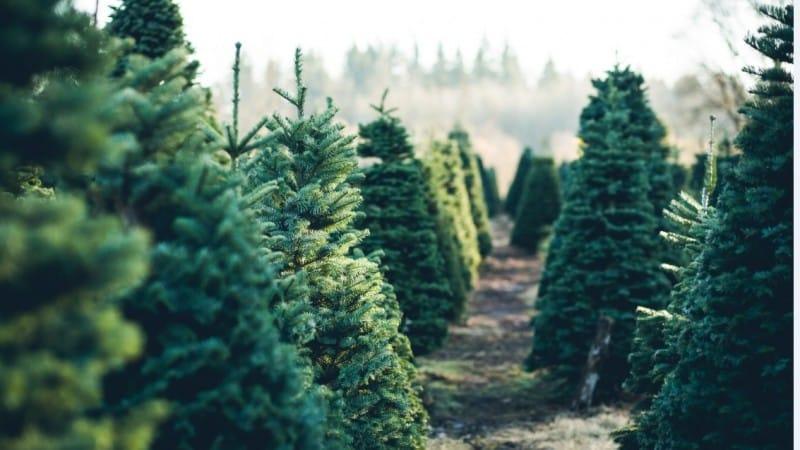 Kerstboom kappen 2020